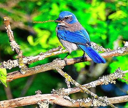 Blue Bird - Building My Nest by Image Takers Photography LLC - Laura Morgan