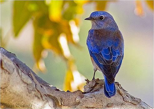 Blue Bird by Mirza Ajanovic
