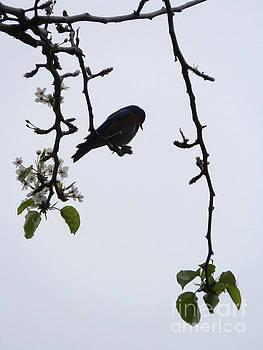 Blue Bird of Happiness by Robert Ball