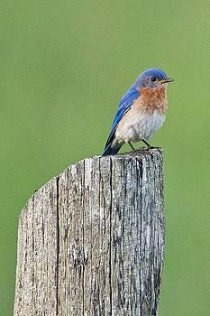 Blue Bird on Cedar Post by Michael Peychich