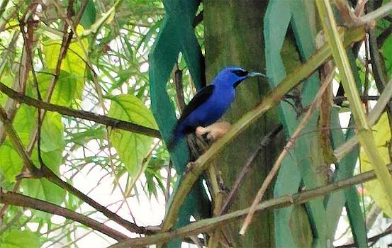 Blue Bird with a Curved Bill by Andrew Blitman
