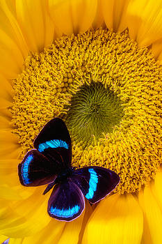 Blue Black Butterfly On Sunflower by Garry Gay