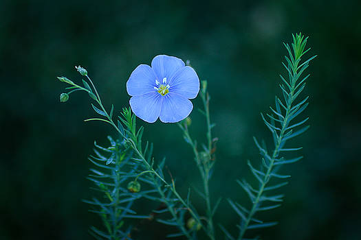 Blue Bloom by Nathaniel Kidd