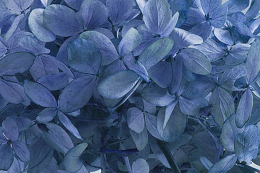 Sandra Foster - Blue, Blue Hydrangeas