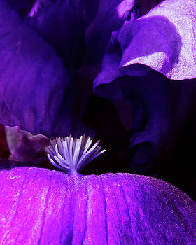 Guy Shultz - Blue Blue Iris