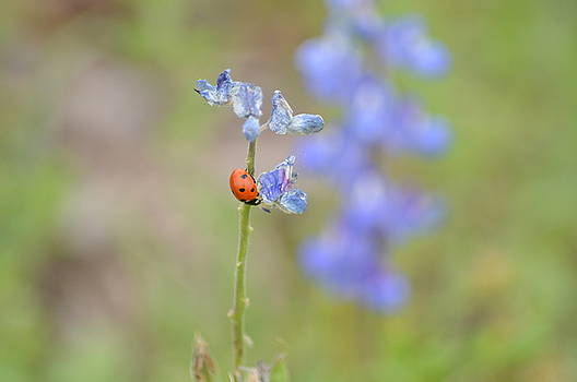 Blue Bonnets and a Lady Bug by Carolina Liechtenstein