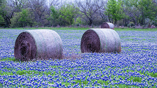 Blue Bonnets in Field by Brian Kinney