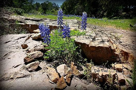 Blue Bonnets on the Rocks by Dale Paul