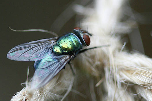 Blue Bottle Fly on Garden Twine by Bonnie Boden