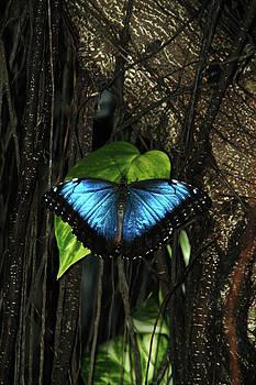 Blue Butterfly by Alynne Landers