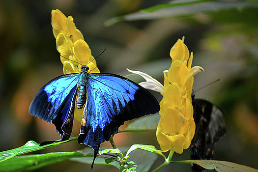 Blue Butterfly by Brad Thornton