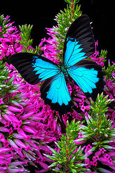 Blue Butterfly On Heather by Garry Gay