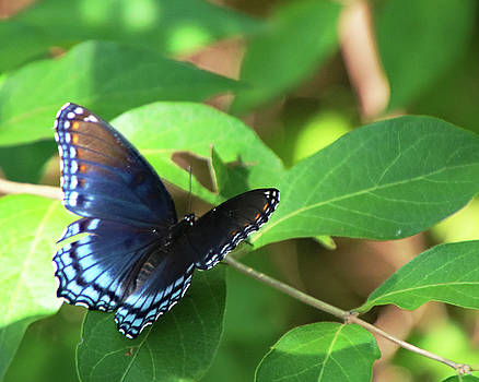 Blue Butterfly by Paula Anderson