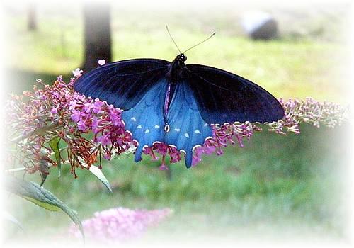 Scarlett Royal - Blue Butterfly