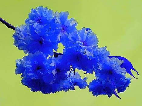Colin Drysdale - Blue Cherry Blossom