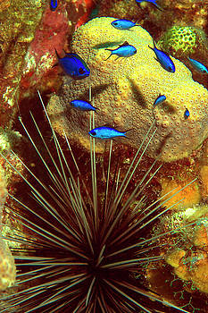 Blue chromis above a sea urchin by Raymond Jusseaume