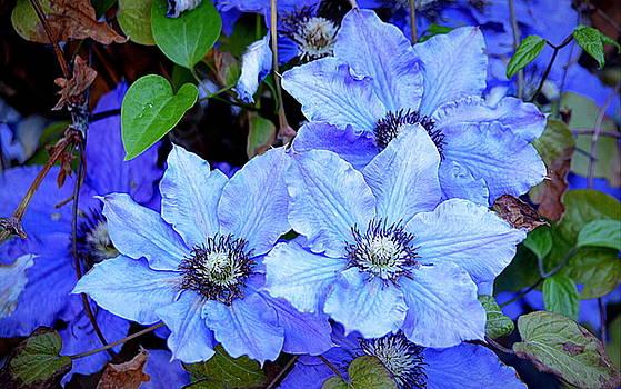 Blue Clematis by AJ  Schibig