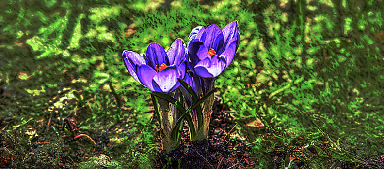 Blue Crocus On Green #h5 by Leif Sohlman