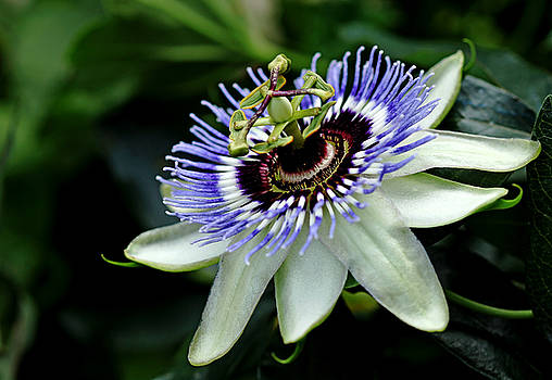 Blue Crown Passion Flower by Debbie Oppermann