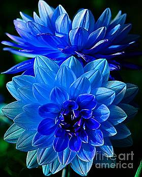 Blue Dahlias by Kathleen Struckle