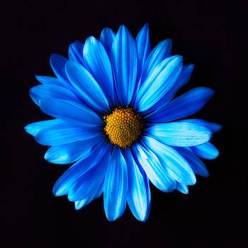 Blue Daisy by Shannon Gan Dathu