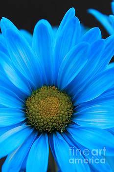 Blue Daisy by Teresa Thomas