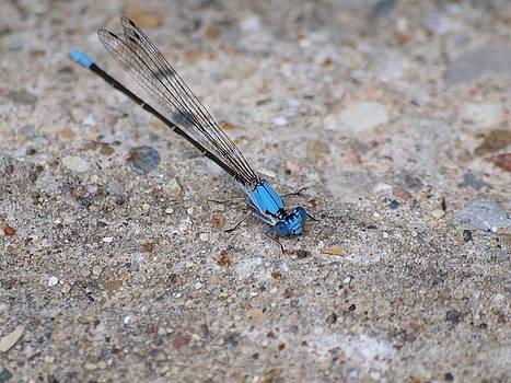 Blue Damsel Fly by Jennifer Whiteford