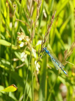 Blue Damsel by Gina Gahagan