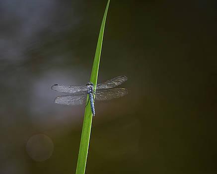 Rosemary Woods-Desert Rose Images - Blue Darner Dragonfly-IMG_022118