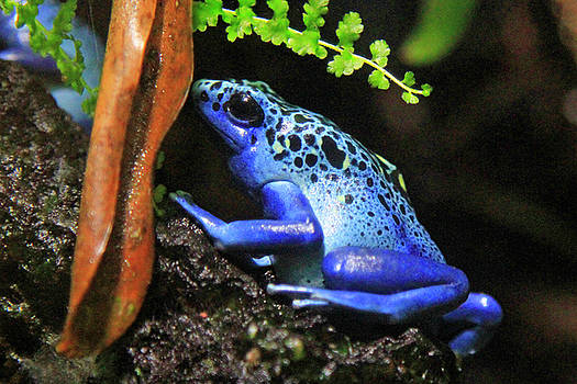 Blue Dart Frog by Shoal Hollingsworth