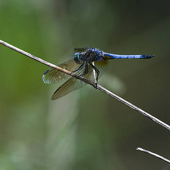 Blue Dasher 2 by Billy Stovall