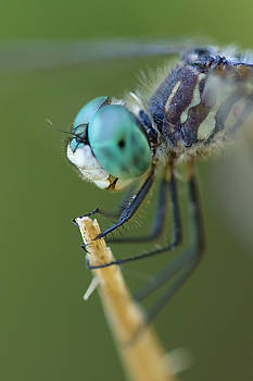 Blue Dasher Dragonfly #2 by Paul Rebmann