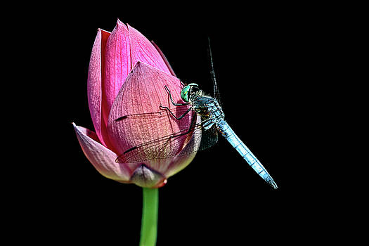 Blue Dasher by Wes and Dotty Weber
