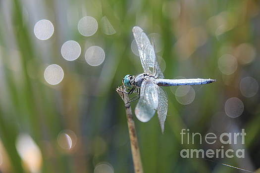 Blue dragonfly by Anthony Jones