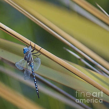 Blue dragonfly by Cindy Garber Iverson