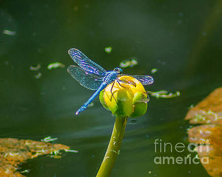 Stephen Whalen - Blue Dragonfly on Yellow Bud