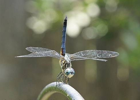 Blue Dragonfly by Rosalin Moss