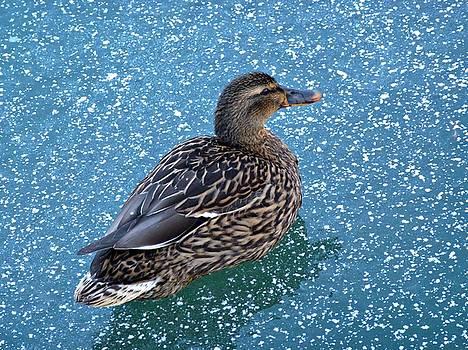Blue Duck by Renee Pettersson