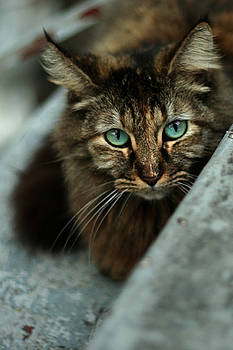 Blue eyed cat by Holly Wilson