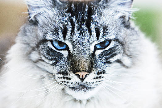 Blue Eyed Cat by Mark Hendrickson