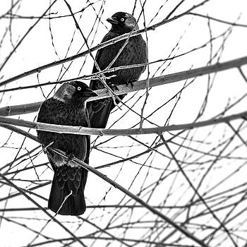 Blue-eyed crows. Black and White by Laura Denis