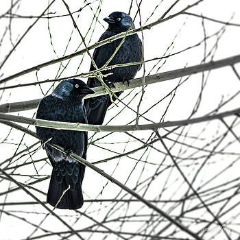 Blue-eyed crows by Laura Denis