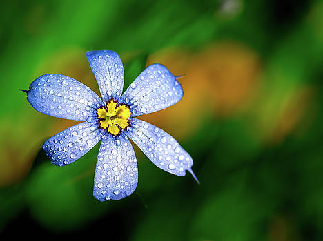 Blue Eyed Grass Flower covered in Droplets by Brad Boland