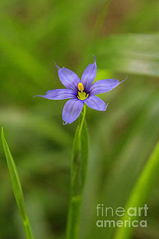 Blue Eyed Grass by Gregory Schultz