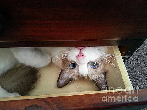 Blue-Eyed Kitten in a Drawer by Silken Photography