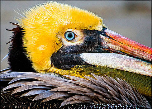 Blue-eyed Pelican by Mirza Ajanovic