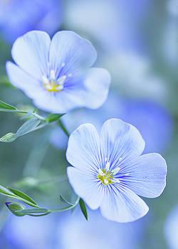 Blue flax flowers by Iuliia Malivanchuk by Iuliia Malivanchuk