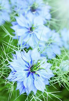 blue flower knapweed by Iuliia Malivanchuk by Iuliia Malivanchuk