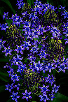 Rick Strobaugh - Blue Flowers Blooming