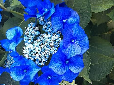 Blue flowers blossom  by Sheila Renfro